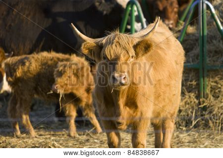 Highland cow in a farmyard at sunset