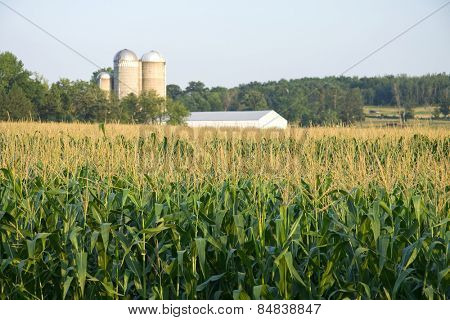 Maize field with silo and farm in distance