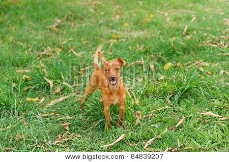 Happy puppy of Miniature Pinscher and pooch playing on green grass in yard with moving tail
