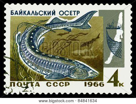 Vintage  Postage Stamp. Fish Baikal Sturgeon.