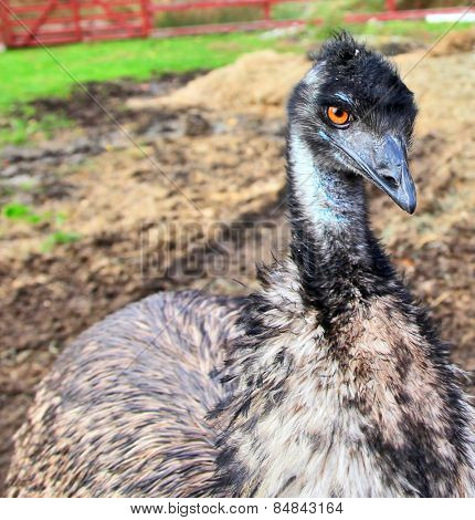 Side view portrait of an emu