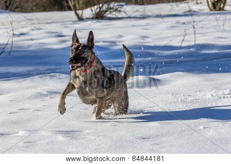 German Shepherd on fresh snow