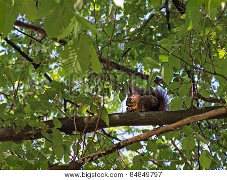 Squirrel Eats Acorn On A Branch In The Wood