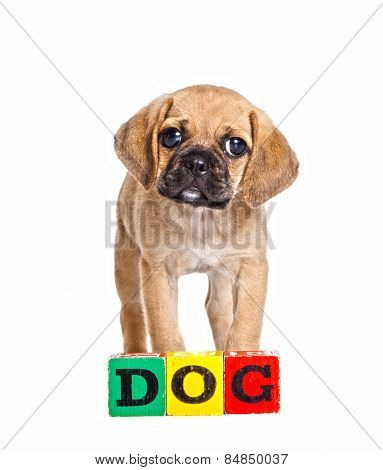 Cute Puggle puppy with kids building blocks