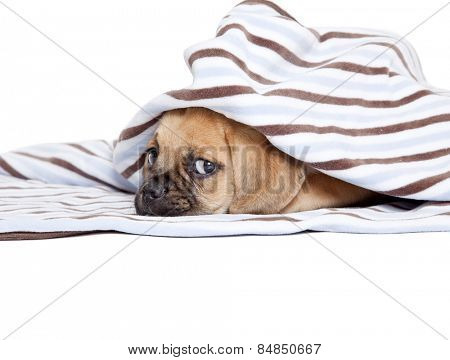 Cute Puggle puppy isolated on white background