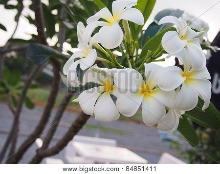 Frangipani Flowers Bouquet On The Stem