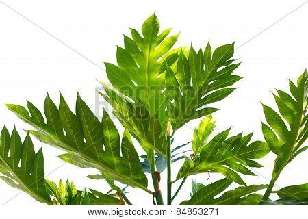 Bread Fruit Leaf
