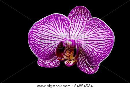 Orchid On A Black