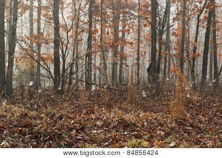 Hardwood Forest Fog 1