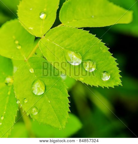 Closeup Of Green Leaves Rose With Raindrops In Nature