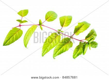 Fresh Green Twig Of Fuchsia With Long Leaves Is Isolated On White Background