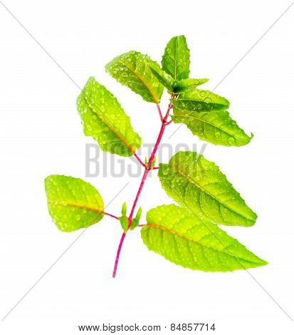 Fresh Green Twig Of Fuchsia With Dew On Long Leaves Is Isolated On White Background