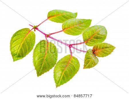 Fresh Green Twig Of Fuchsia With Dew Is Isolated On White Background