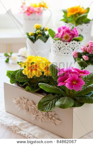 Fresh colorful primula flowers in pots