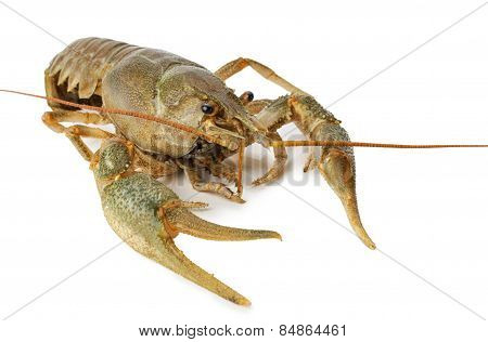 River Lobster Isolated On A White Background