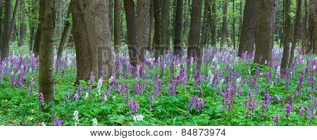Spring landscape. Flowers in the forest. Blooming primrose.