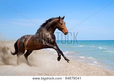 Bay horse free running