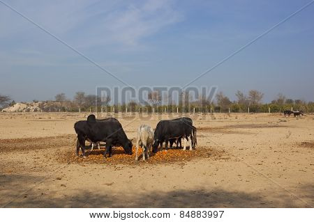 Cattle Eating Oranges