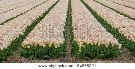 Blooming tulip field