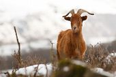 pic of herbivore animal  - Brown wild goat on mountains landscape - JPG