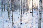 image of birchwood  - Snowy birch forest at winter and warm sun light - JPG