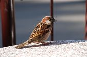 foto of pecker  - small urban bird  - JPG