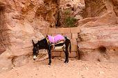 stock photo of burro  - Jordan Petra - JPG