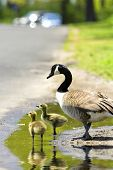 stock photo of mother goose  - Two goslings with an adult goose in a puddle with focus on front gosling - JPG