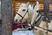 pic of harness  - Harnessed horse standing near the house and waiting for the owner - JPG