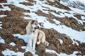 picture of eminent  - Surefire Svan dog in mountains of the Caucasus - JPG