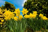 image of daffodils  - Yellow Daffodils In The Garden In Early Spring - JPG