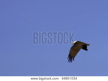Close-up Of Bald Eagle In Flight Against Blue Sky.