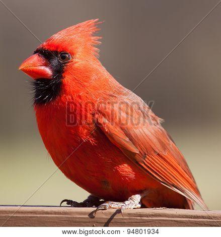 Male Cardinal On A Plank