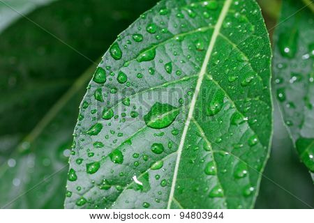 The green leaves of water droplets