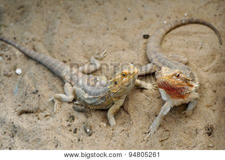 Bearded Dragon Or Pogona Vitticeps