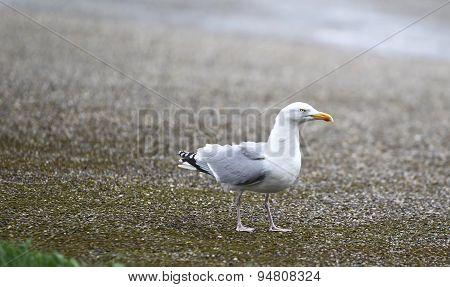 Gull Sitting On The Beach
