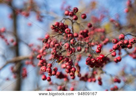 Rowan berries Mountain ash tree