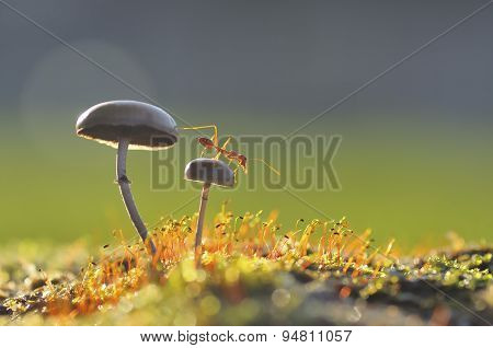 Weaver ant want to jump from a mushroom
