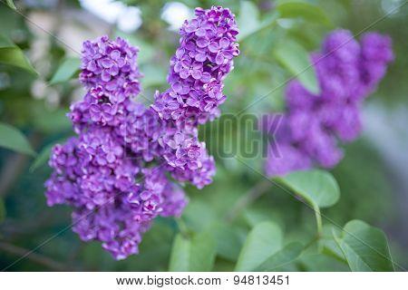 Flowering Fragrant Lilac Branch