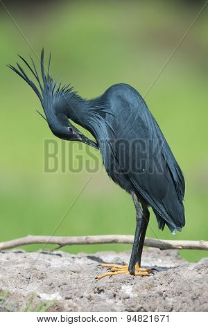 Black Heron (egretta Ardesiaca) Bent Over For Preening