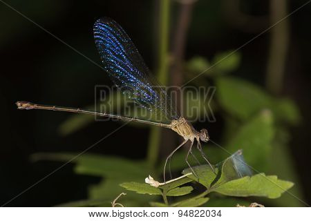 (phaon Irridipennis) Glistening Demoiselle Family Calopterygidae