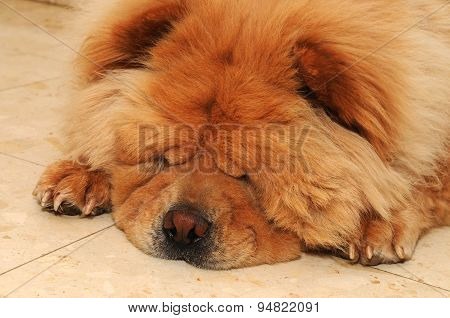 Focusing The Nose Of A Sleeping Cute Chow Chow Dog On The Floor