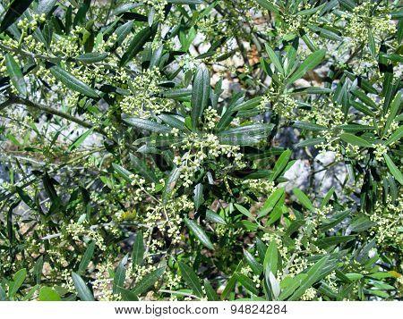 A flowering Croatian olive tree