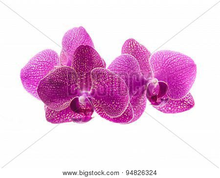 pink orchid flowers isolated on white