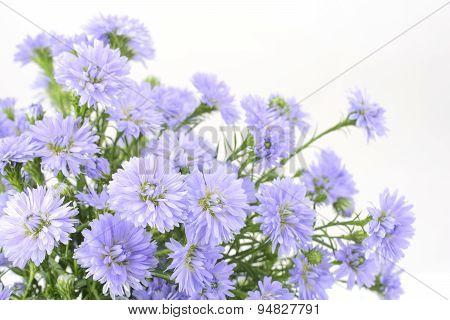 Perennial aster bundle