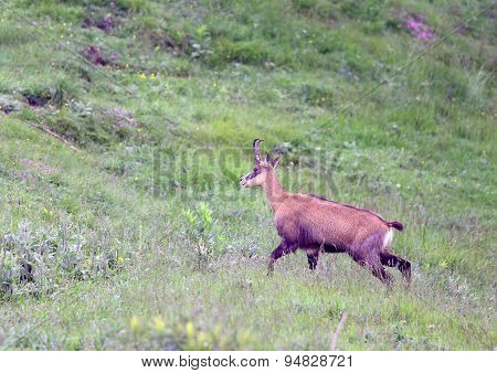 Solitaire Chamois Grazing Meadows With Tall Grass In Summer