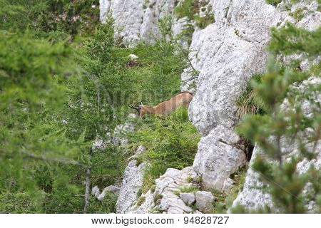 Chamois On The Steep Rock In The Mountains