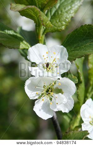 Flowers Apple-tree