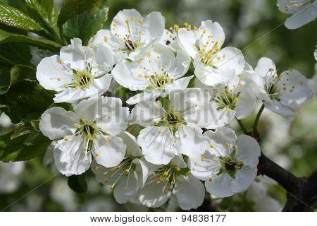 Flowers Apple Tree