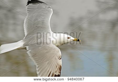 Seagull in flight over water with wings spread